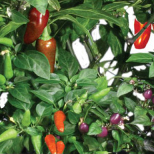 Chili Pepper Seed Kit