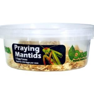 2 LIVE  Pray Mantids Eggs  (20